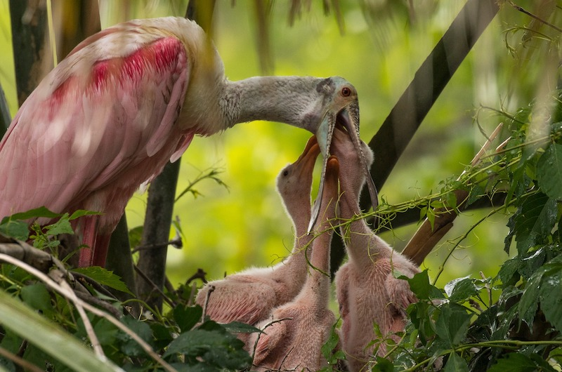 Roseate Spoonbills being fed by parent.