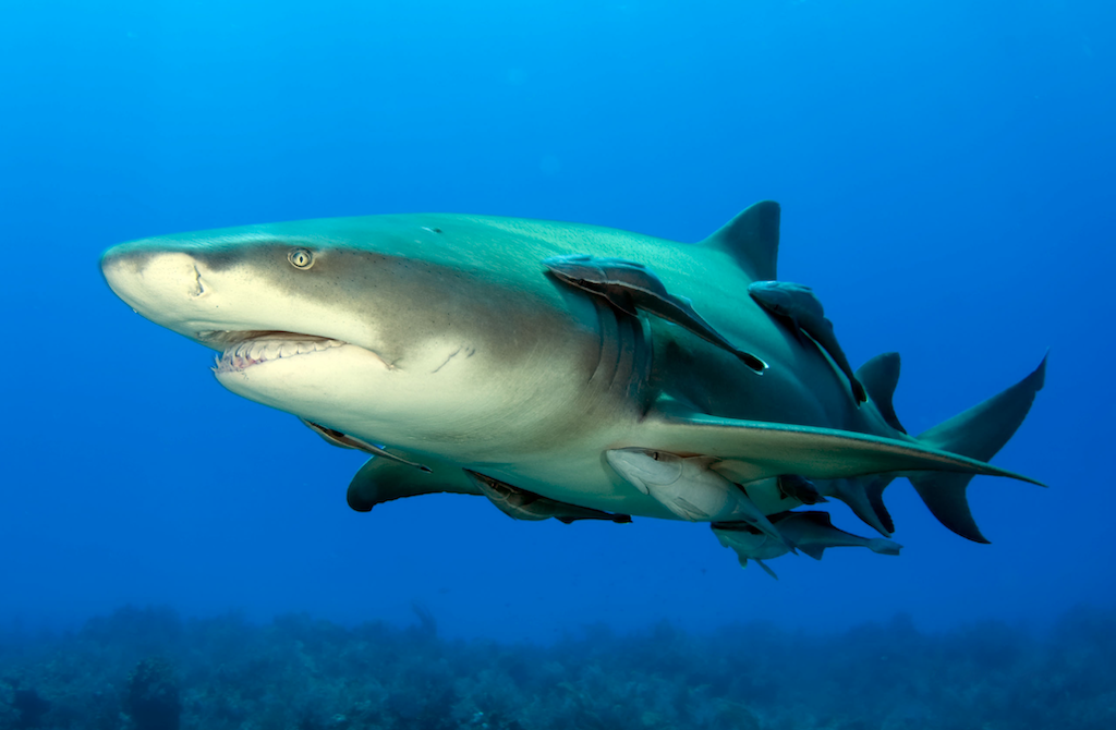 Lemon shark swimming in ocean