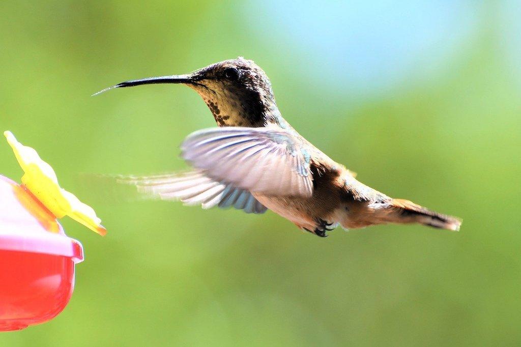 Hummingbird mid-flight at a red nectar feeder.