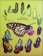 Monarch Life Stages (Laminated Poster)