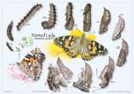 Painted Lady Life Cycle (Laminated Poster)