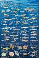 Sharks & Kin (Laminated Poster)
