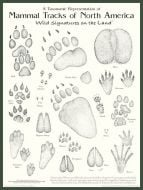 Mammal Tracks of North America Poster: Wild Signatures on the Land