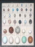 Eggs of North American Birds Display