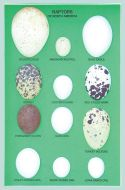 Eggs of North American Raptors Display
