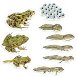 Giant Frog Life Cycle Magnets