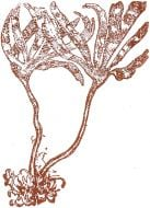Brown Alga Rubber Stamp: Sea Palm