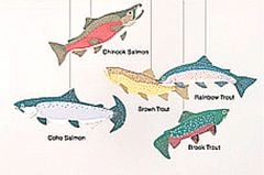 Trout and Salmon Mobile