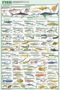 Fish (Laminated Poster)