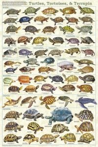 Turtles & Tortoises (Laminated Poster)