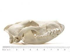 Wolf (Red) Skull Replica