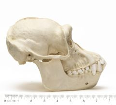 Chimpanzee (Male) Skull Replica