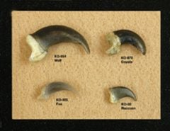 Mammal Claws Display (Fox, Coyote, Wolf, Raccoon)