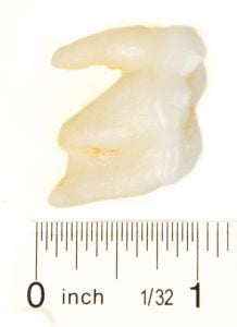 Bear (Polar) Molar Tooth Replica