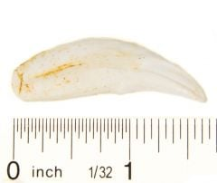 Wolf (Gray) Canine Tooth Replica