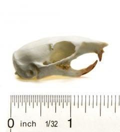 Chipmunk (Eastern) Skull Replica