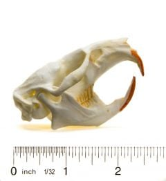 Muskrat Skull Replica