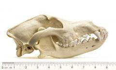 Wolf (Mexican) Skull Replica