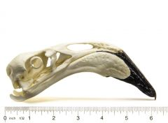 Flamingo (Greater) Skull Replica