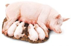Sow (with Piglets) Model