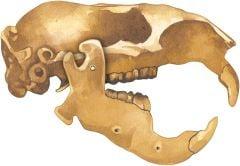 Beaver 2D Skull Model®