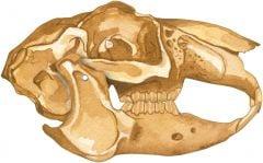 Rabbit (Jack) 2D Skull Model®