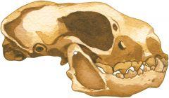 Skunk 2D Skull Model®