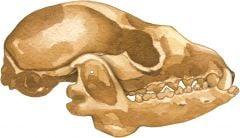 Fox 2D Skull Model®