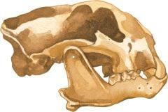 Cougar 2D Skull Model®