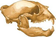 Bear (Black) 2D Skull Model®
