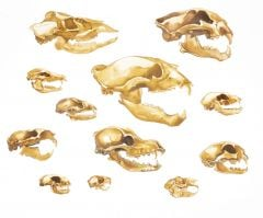 Mammals 2D Skull Model® Collection (Discounted Set of 12 Skull Models)