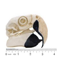 Macaw (Scarlet) Skull Replica