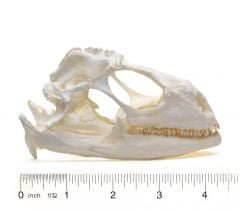 Iguana (Green) Skull Replica
