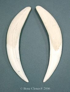 Smilodon Canine Fossil Tooth Replicas (Matched Pair)