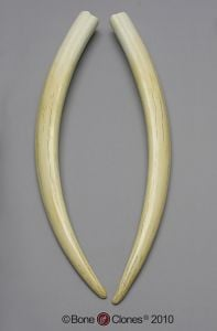 Walrus Tusk Replicas (Matched Pair)