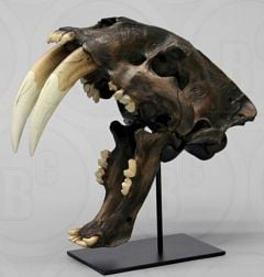 Smilodon Skull Replica (Tar Pit Finish)
