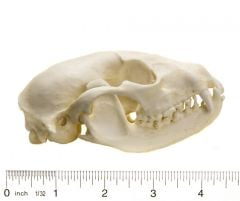 Raccoon Skull Replica