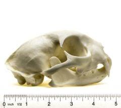 Bobcat Skull Replica
