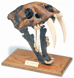 Smilodon Fossil Skull Replica (Dark Brown Tar Pit Finish)