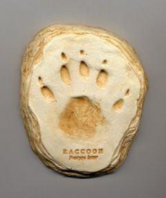 Raccoon Track Cast (Small Plaque)