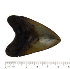 Megalodon Shark Fossil Tooth Replica