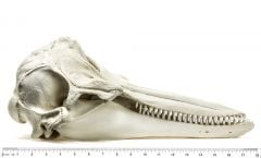 Dolphin (Bottlenose) Skull Replica