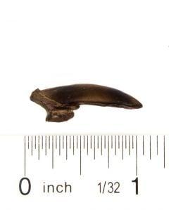 Beaver Claw Replica