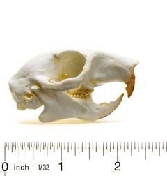 Squirrel (Eastern Gray) Skull Replica