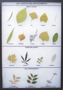Leaf Shapes and Arrangements Display