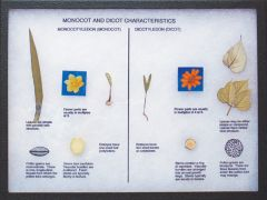 Monocot and Dicot Characteristics Display
