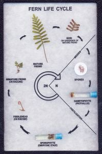 Fern Life Cycle Display