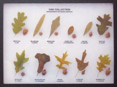 Oak Leaf and Acorn Display (Eastern Oaks)