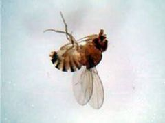 Fruit fly , whole mount (prepared microscope slide)
