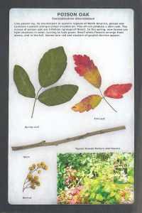 Poison Oak Display